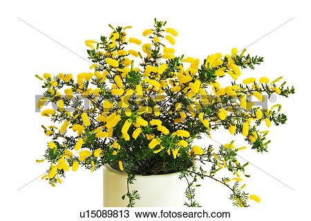 Stock Photo of Bunch of Yellow Acacia Flowers u15089813.