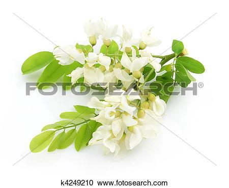 Acacia flowers clipart #10