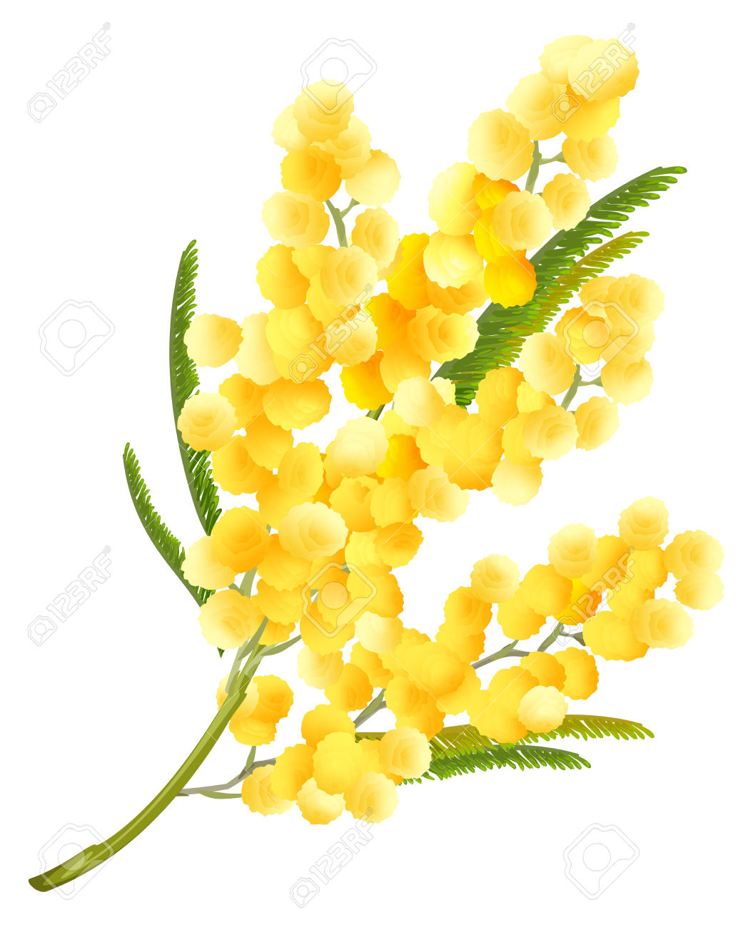 Yellow Mimosa Flower. Acacia Flower Symbol Of Womens Day. Isolated.