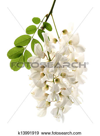 Acacia flowers clipart #8