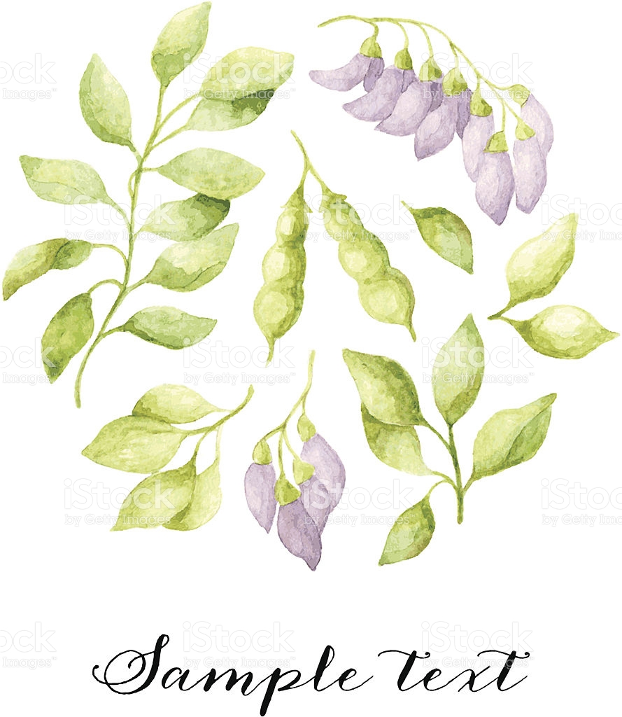 Vector Floral Watercolor Background With Violet Acacia Flowers.