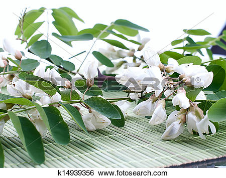 Stock Images of Acacia flowers with leafs on white k14939356.