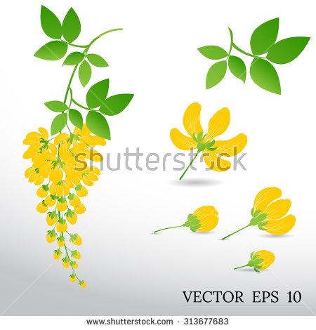 Acacia Flower Stock Photos, Royalty.
