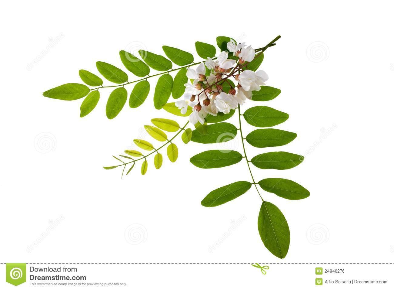 Acacia Royalty Free Stock Image.
