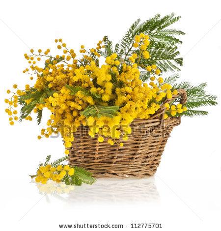 Acacia Flowers Stock Photos, Royalty.