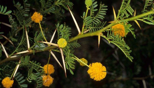 Acacia karroo (sweet thorn).