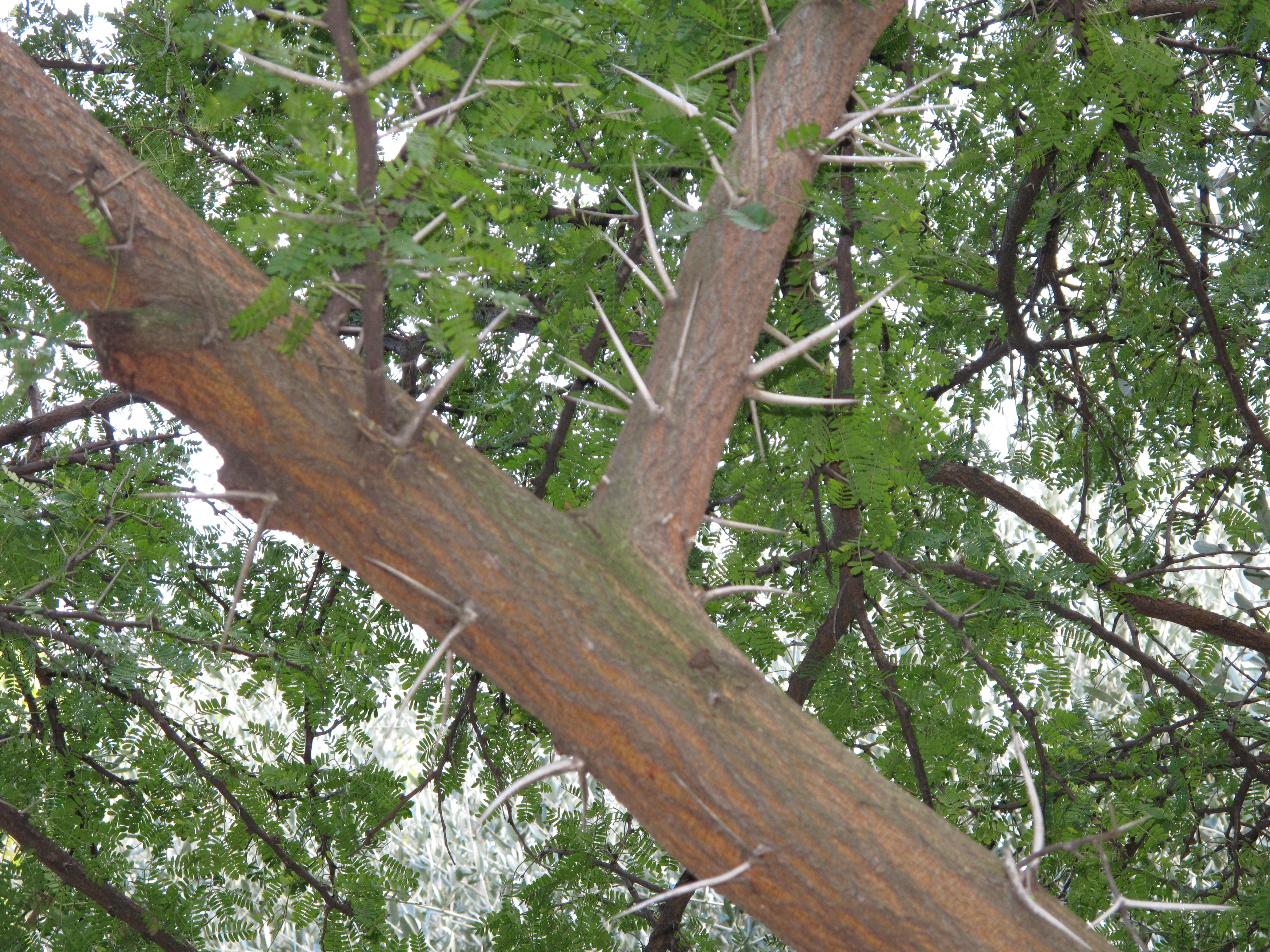 File:Acacia karoo detail.jpg.