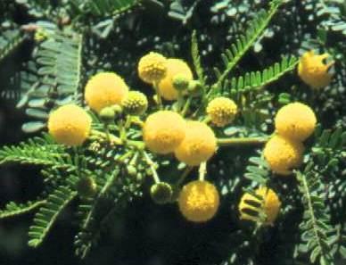 Acacia karroo.