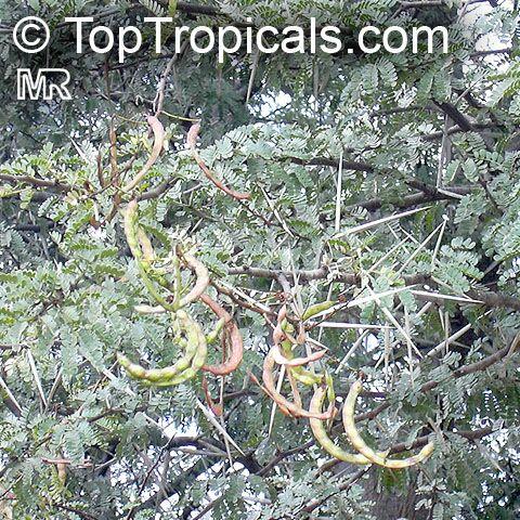 Vachellia karroo, Acacia karroo, Sweet Thorn.
