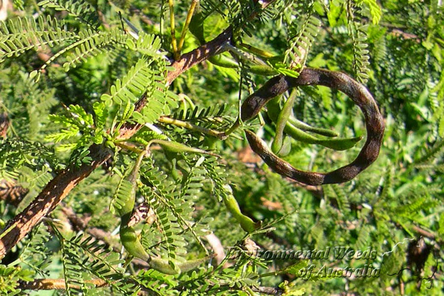 Gardening in Africa: Acacia karroo (Vachellia karroo).