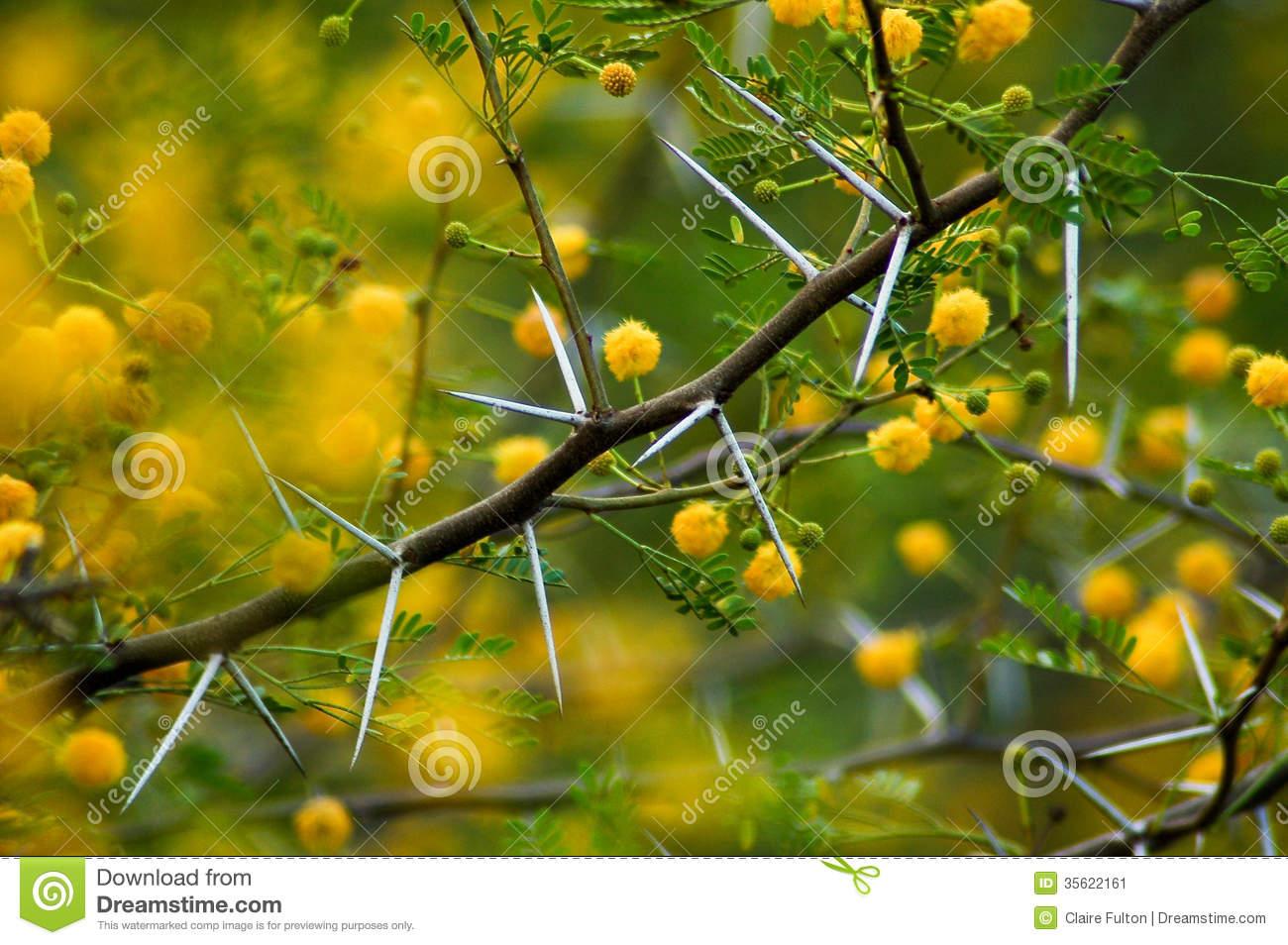 Acacia Karoo Thorns Stock Photos.