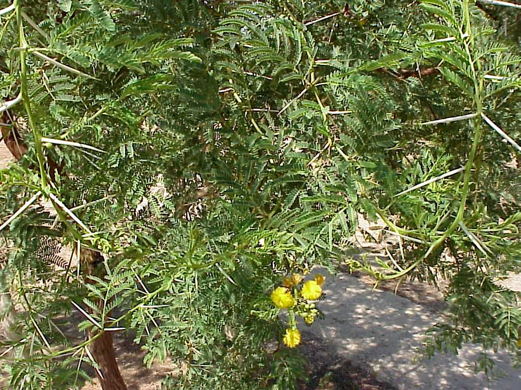 Acacia karrooArid Zone Trees.