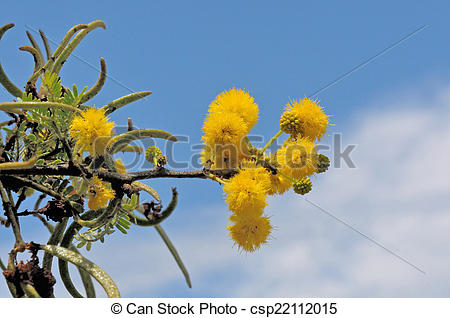 Stock Photography of Sweet Thorn tree, Acacia karroo, common in.