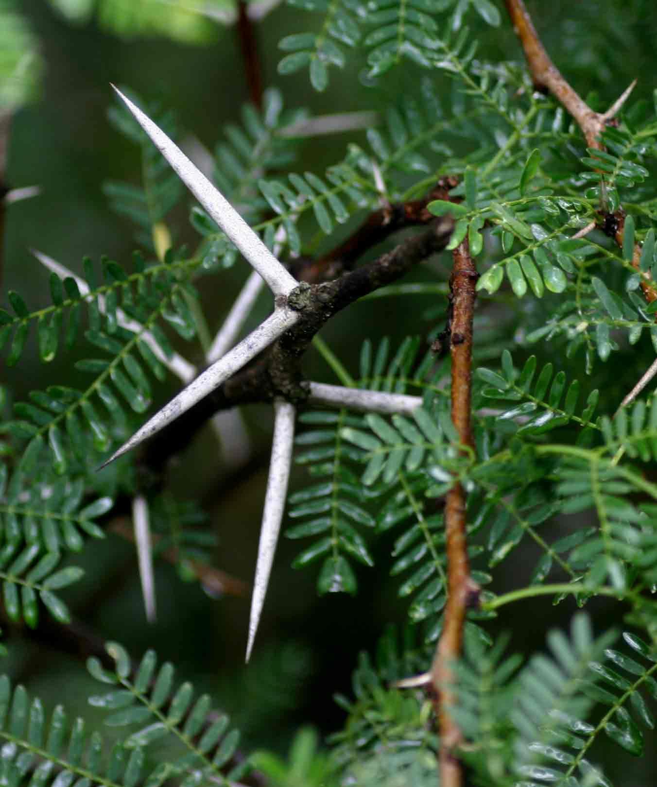 Flora of Zimbabwe: Species information: individual images: Acacia.