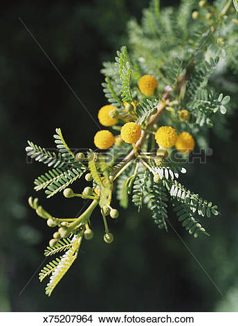 Stock Photo of Acacia karoo x75207964.