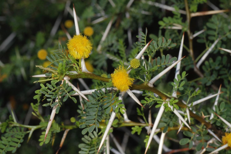 File:Acacia karroo (Mimosoideae).jpg.