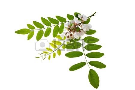 Acacia Tree Mimosa Tree Stock Photos, Pictures, Royalty Free.
