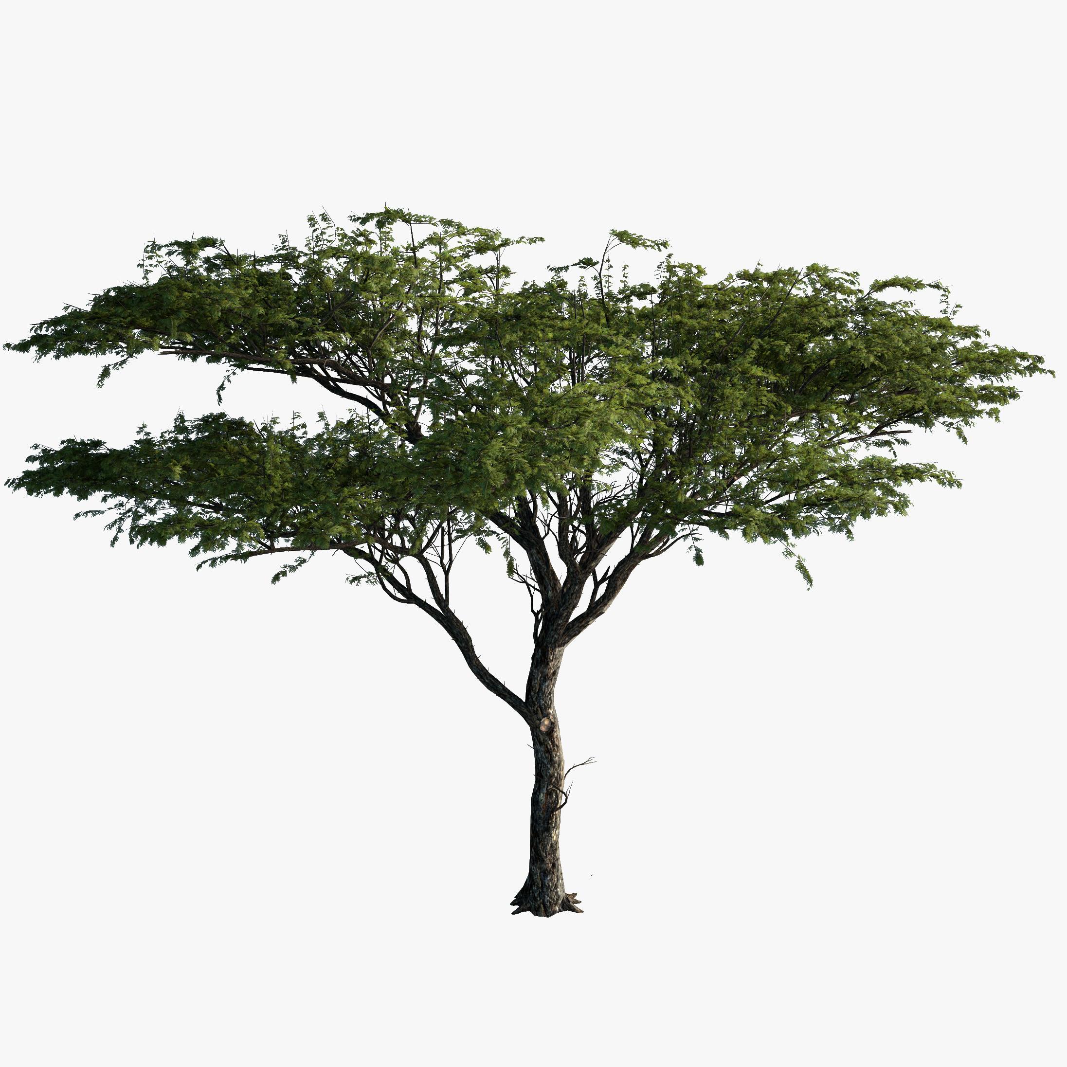 3d model tree acacia plant.