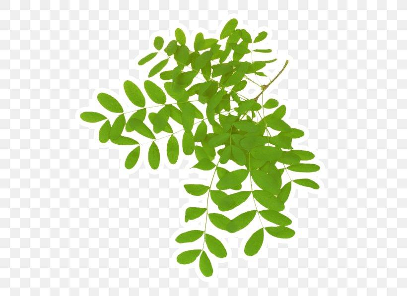 Leaf Acacia Dealbata Gum Arabic Tree Plant, PNG, 588x597px.