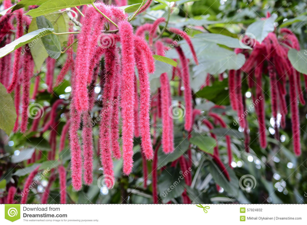 Chenille Plant, Flowers Of Acalypha Hispida Stock Photo.