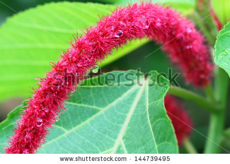 Acalypha Reptans Stock Photos, Royalty.