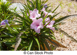 Acanthaceae Stock Photo Images. 254 Acanthaceae royalty free.