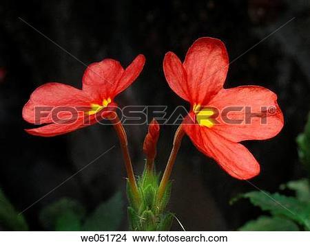 Stock Photo of Scientific Name : Crossandra infundibuliformis.