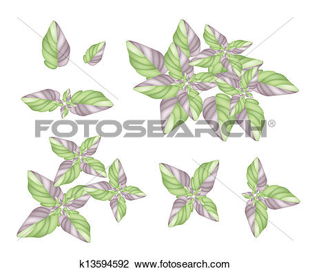 Clipart of A Set of Acanthaceae Plant on White Background.