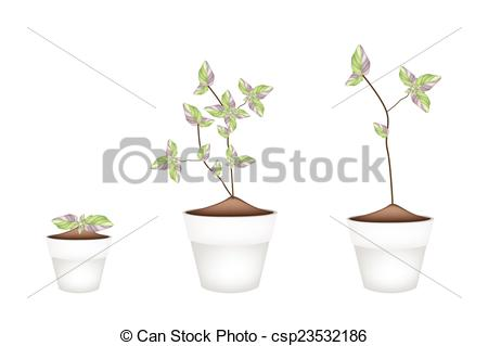 Vector of Three Acanthaceae Plants in Ceramic Flower Pots.