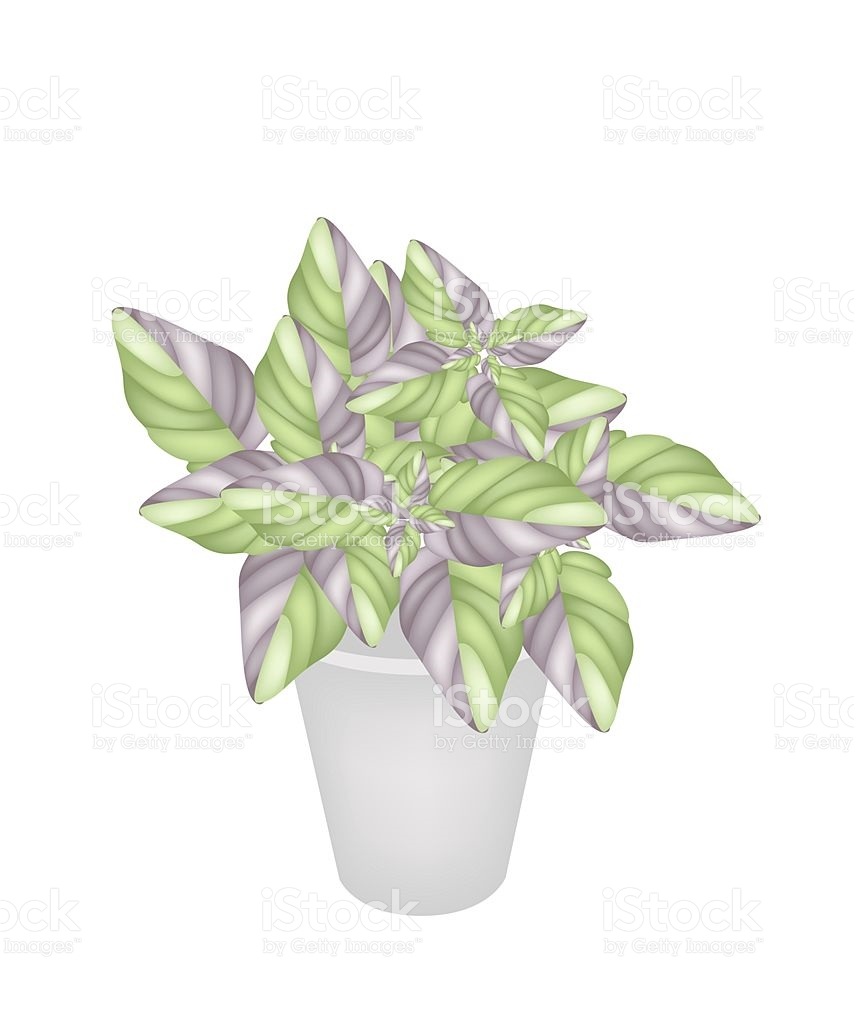 Beautiful Acanthaceae Plant In A Flower Pot stock vector art.