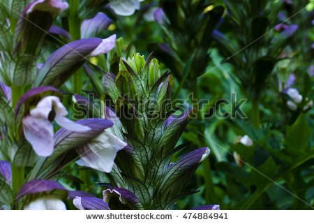 Acanthus Plant Stock Photos, Royalty.