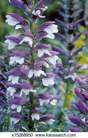 Stock Photography of acanthus hungaricus syn. a. longifolius close.