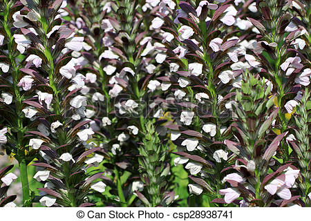 Stock Photo of Acanthus hungaricus flowers.