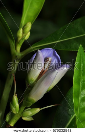 Acanthus Flower Stock Photos, Royalty.