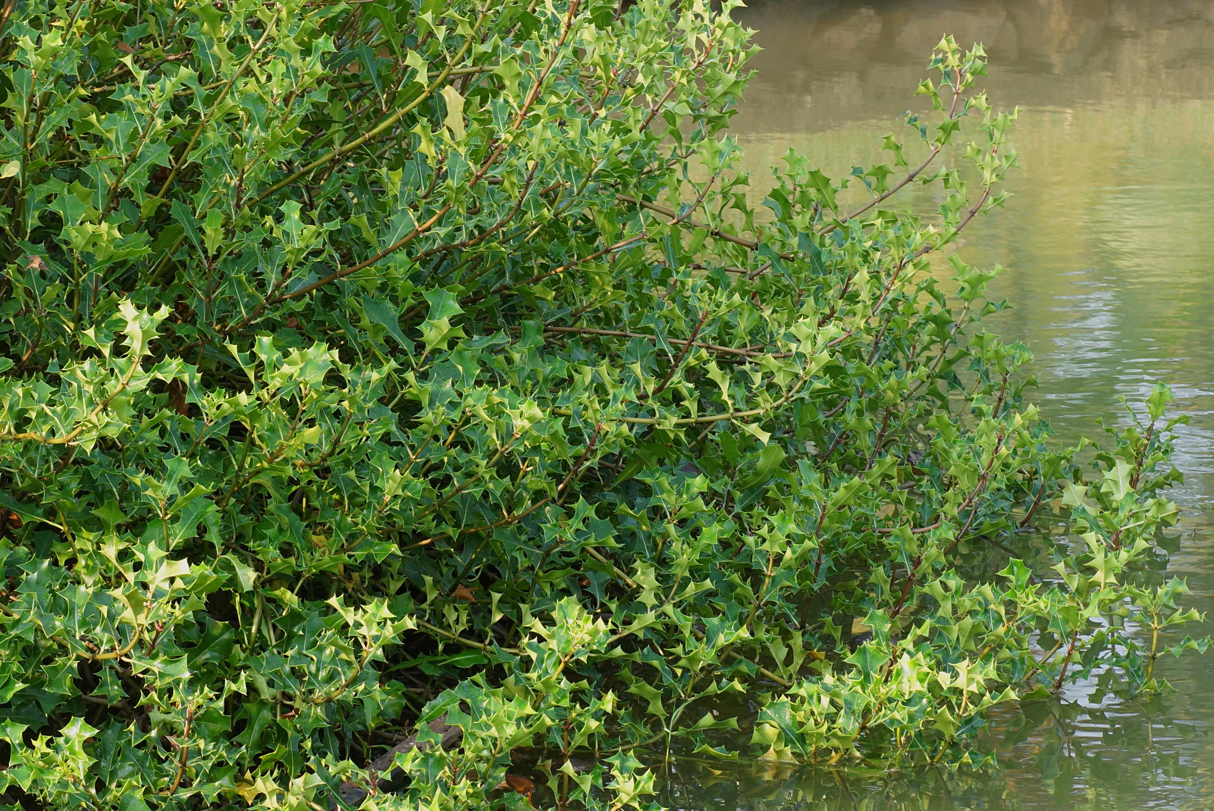 Acanthus ilicifolius Images.