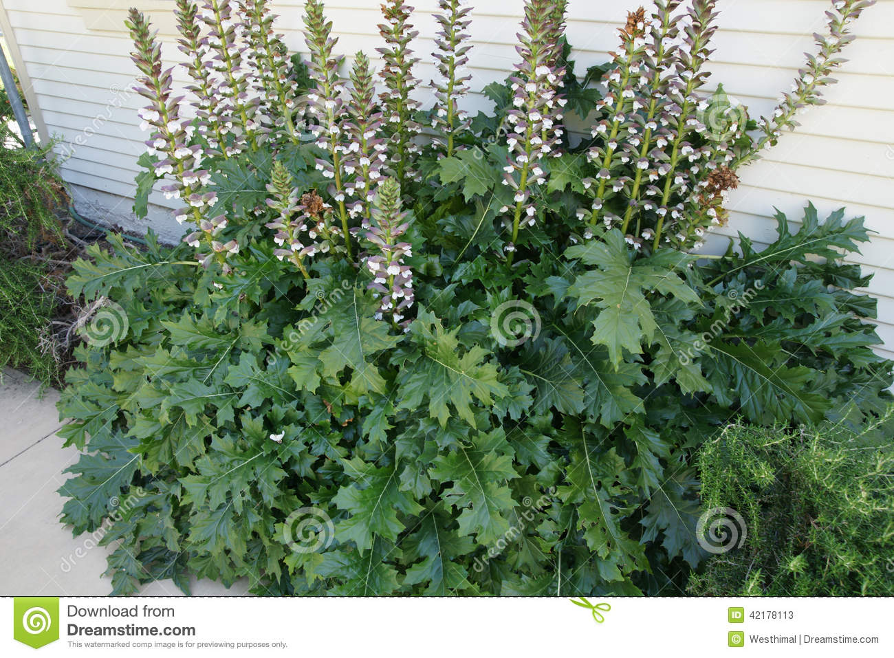 Acanthus Mollis, Bear's Breaches Stock Photo.