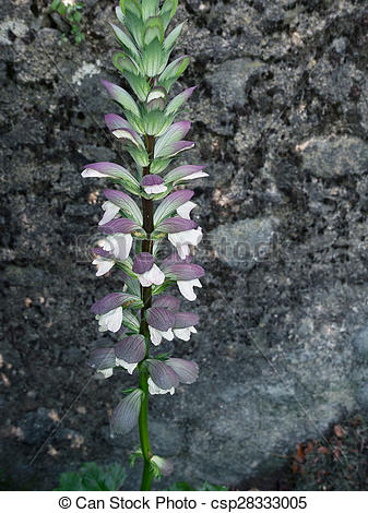 Stock Photography of Acanthus mollis, Bears breeches. Wild flower.