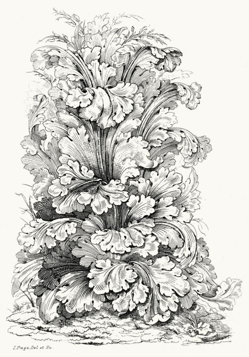 Acanthus mollis. Frontispiece from Guide for drawing the acanthus.