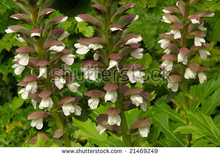 Acanthus Mollis Stock Photos, Royalty.