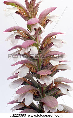 Stock Photography of Acanthus mollis cd220090.
