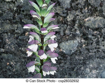 Stock Photos of Acanthus mollis, Bears breeches. Beautiful detail.