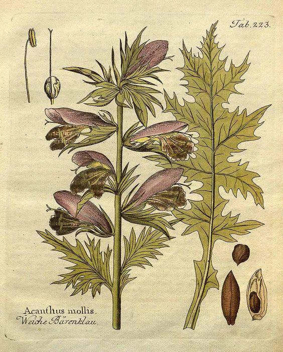 Acanthus mollis L..