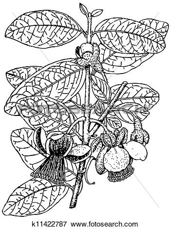 Clip Art of Plant Acca sellowiana k11422787.