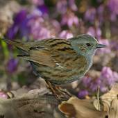 Stock Images of Juniors, Prunellidae, accentor, accentors, afield.