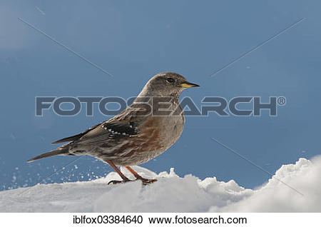 "Stock Photography of ""Alpine Accentor (Prunella collaris) in."