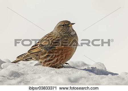 "Stock Photography of ""Alpine Accentor (Prunella collaris) in the."
