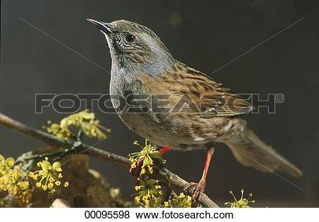 Pictures of Juniors, Prunellidae, accentor, accentors, animal.