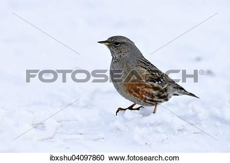 Stock Photography of Alpine Accentor (Prunella collaris), Canton.