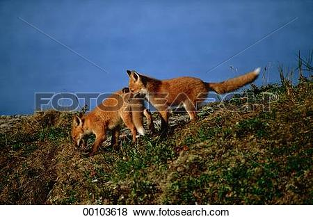 Pictures of Fox, Juniors, Vulpes, Vulpes vulpes, acclivity, animal.
