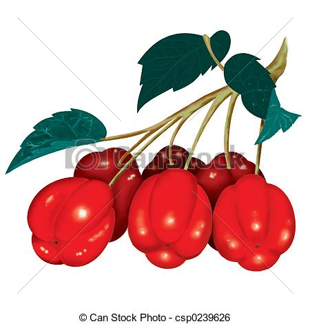 Acerola Illustrations and Clip Art. 3 Acerola royalty free.